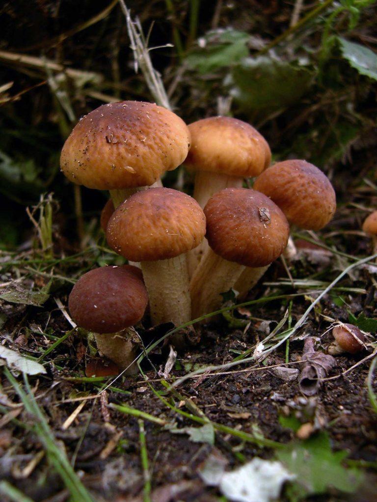 Pioppini---Cyclocybe-aegerita - Soffio di Grano & Curiosità