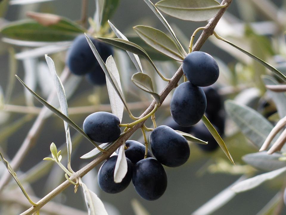 Olive nere - Soffio di Grano e Curiosità - Luglio 2019
